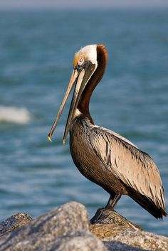 Brown Pelican, Fort Desoto, Tierra Verde, Florida; photo by Matthew Paulson