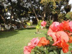 Perspectiva del jardín en #careva con floración de mango al fondo  #careva