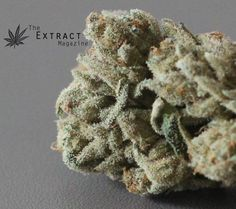 Up close and personal with Black Raspberry cannabis nugs