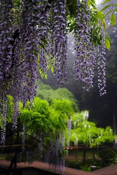 In the Gardens of Ninfa, Italy - hanging Wisteria ~ Ana Rosa