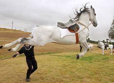 Google Image Result for http://wildhorsehideaway.com/wp-content/uploads/2010/12/lipizzaner-horse-lipizzaners-1129.jpg