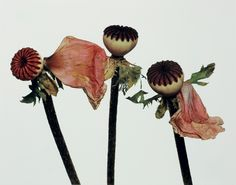 Single Oriental Poppy (A), New York, Irving Penn. Photo: © The Irving Penn Foundation Irving Penn Flowers, Vogue Cover, Language Of Flowers, Fashion Wallpaper, Wallpaper Magazine, Botanical Flowers, Botanical Art, Natural Forms, Planting Flowers