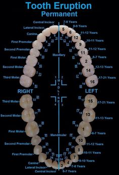 Dentaltown - Dental Anatomy. Tooth Eruption Chart. Dentaltown Message Board > Dental Anatomy http://www.dentaltown.com/MessageBoard/thread.aspx?s=2&f=154&t=234513&pg=1&r=3633662 #PediatricDentist #Dental #Dentist #Dentistry #DentalHygiene #DentalHygienist #DentalAssistant
