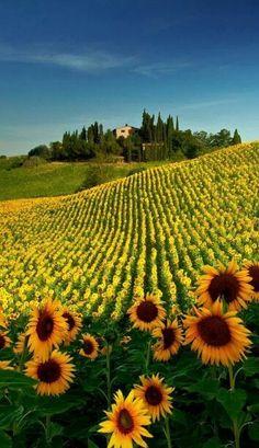 Sunflowers, Bulgaria!