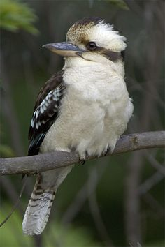 The beautiful Australian Kookaburra - seen regularly at Uriarra, heard at dawn and dusk ~ Image Credit: James Rolevink Beautiful Birds, Animals Beautiful, Cute Animals, Outback Australia, Dawn And Dusk, Kinds Of Birds, Australian Animals, Exotic Birds, Kingfisher