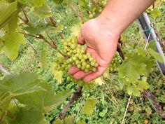Furmint at Buchertberg Fruit, Live, Food, Roots, Nature, Meals