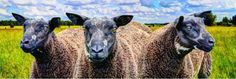 Panoramic Sheep in 3 siluets in the Dutch Landscape with sheep clouds