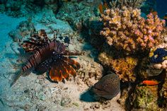 Lionfish and moray by sergemi #nature #photooftheday #amazing #picoftheday #sea #underwater