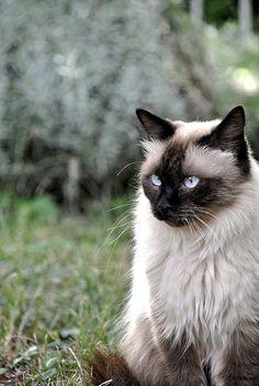 Himalayan Cat .