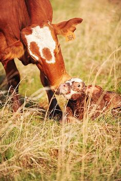 All things beautiful animals farms living, farm animals и calves. Farm Animals, Cute Animals, Baby Cows, Cute Cows, Ranch Life, Farms Living, Rind, Mothers Love, Country Life