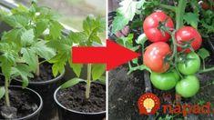 Farmár použil starodávny zlepšovák pri pestovaní paradajok: Vďaka starému chlebíku porastú ako z vody! Planting Vegetables, Kids And Parenting, Garden Inspiration, Stuffed Mushrooms, Gardening, Health, Flowers, Food, Terrarium