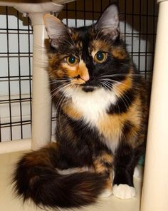 Meet Lydia, a Petfinder adoptable Domestic Medium Hair Cat | Colonia, NJ | Lydia, also known as Lydie the pretty kitty, is absolutely gorgeous! She's a medium-haired tortie...