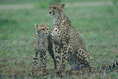 Cheetah Mother & Cub Sabi Sabi in South Africa. Cheetah Cubs, Kwazulu Natal, Cheetahs, Four Legged, Tour Guide, Wonders Of The World, Wilderness, South Africa, Trip Advisor