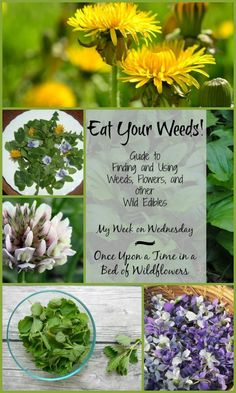 Edible Gardening Eat Your Weeds! A guide to finding and using weeds, flowers, and other wild edibles. A My Week on Wednesday post from Once Upon a Time in a Bed of Wildflowers Healing Herbs, Medicinal Plants, Permaculture, Edible Wild Plants, Herbs For Health, Wild Edibles, Be Natural, All Nature, Edible Flowers