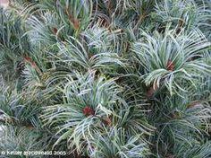 podocarpus elongatus monmal - Google Search