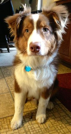 Red Australian shepherd - I had on growing up named Buffy. She was the best dog ever!