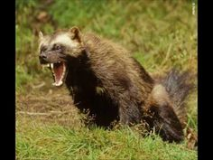 A real wolverine. Now you know where the X-Men character got his temper from. Types Of Animals, Animals Of The World, Animals And Pets, Wild Animals, Beautiful Creatures, Animals Beautiful, Unique Animals, Wolverine Animal, Wolverine Images