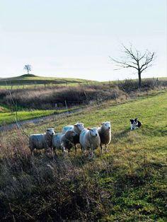 Mandelmanns border collie schapen