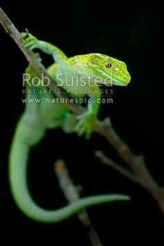 Lewis Pass green gecko, or West Coast green Gecko, (Naultinus tuberculatus, previously known as Naultinus poecilochlorus). New Zealand endemic lizard, New Zealand (NZ) stock photo. New Zealand Image, Geckos, Reptiles And Amphibians, West Coast, Stock Photos, Lizards, Green, Nature, Pictures