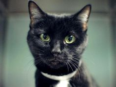 NYC. TO BE DESTROYED 5/1/14 Brooklyn Center. LOVELY LINDA IS A CHUBBY TUXIE IN SEARCH OF NEW DIGS!! Four year old LINDA was evicted along with her owner. This tuxie princess is SPAYED and has an AVERAGE rating.....appreciates petting and handling and is calm. Sadly none of this matters to the ACC who places their shelter cold above all other considerations. PLEASE COME FORWARD FOR THIS TERRIFIC TUXIE TONIGHT!! HER FACE SAYS IT ALL!