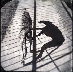 Greyhound Shadow