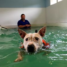 Flea in the hydrotherapy tank finally she's leant to swim  #shopdog #staffordshirebullterrier #englishbullterrier #flea #rocketbobscycleworks