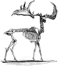 analoghole: Irish elk. The antlers reached 10 feet high at the tips and 12 fucking feet across. (via EXTINCT MONSTERS by REV. H. N. HUTCHI...