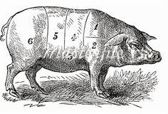 pig illustration - Google Search