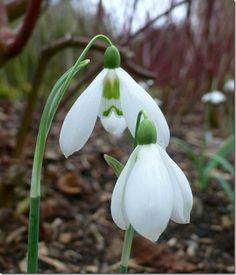 Galanthus Armine, gotas de flor.