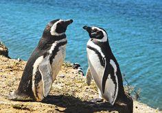 pinguim-de-magalhães Cute Baby Penguin, Penguin Love, Baby Penguins, Cute Baby Animals, Group Of Penguins, Types Of Penguins, All About Penguins, Penguin World, Penguin Animals