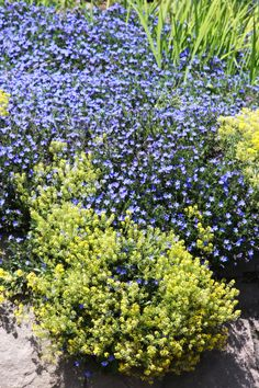 Lobelias (blue) and Alyssum saxatile.  Off highway 14, Vancouver, WA.  05/2012.