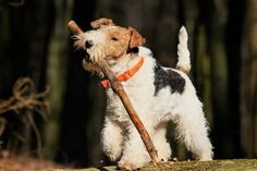 Wire fox terriers and their wood sticks. Fox Terriers, Perro Fox Terrier, Wirehaired Fox Terrier, Welsh Terrier, Wire Fox Terrier, Airedale Terrier, Silly Dogs, Cute Dogs, Animals And Pets