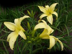 New Hope Gardens - Daylily Catalogue - Daylight Daylily (Hemerocallis) duftende