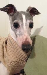 Henry - Alton IL is an #adoptable Italian Greyhound Dog in #Springfield, #MISSOURI. Henry is a loving male italian greyhound that is so smart his foster family says he has learned the dog door in just a matter...