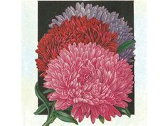 Garden 2014: Giant Perfection Mix - Asters | Baker Creek Heirloom Seed Co