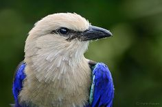 Portrait of a Blue-bellied Roller: Caracas cyanogaster; Featured in National Geographic - Wild Bird Trust - Photograph by Martin Heigan Bald Eagle Tattoos, National Geographic Wild, Blue And White Dinnerware, Vida Animal, Eagle Pictures, Hunting Dogs, Photos Of The Week, Wild Birds, Beautiful Birds