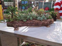 Arranjo de suculentas em tronco de cambará (madeira-de-lei tratada quimicamente…