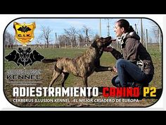 How to train your dog to give paw - IN ENGLISH and SPANISH 😍😍BELONA and ANAKIN Cerberus Illusion in the video😍  Video with Cimarron Uruguayo in co-operation of EADD TV / VIDEO CHANNEL and Cerberus Illusion kennel  Breeder+Owner: Gabriella Hurtos Cerberus Illusion kennel www.cerberusillusion.com hurtos.gabriella@gmail.com #CerberusIlusion #CimarronUruguayo #EaddChannel #Eadd #Perros #AdiestramientoCanino Mma, Cerberus, Video Channel, Training Your Puppy, How To Train Your, Tv Videos, Illusions, Dog Lovers, Horses