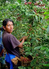My favorite coffee:  Pacamara Peaberry from Matagalpa, Nicaragua