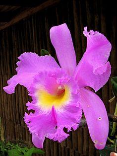 Orchid (Cattleya sp.). Guaria morada Pura vida Costa Rica