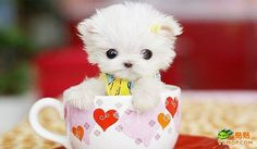 smallest tea cup puppies | TINY TEACUP DOGS! - 6
