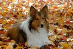 ~Beauty At It's Best~  sheltie
