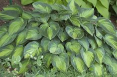 My Business - Hostas J-L