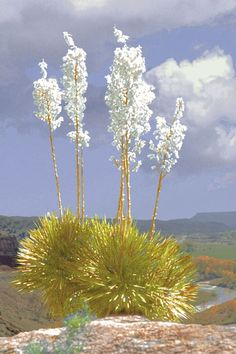 The New Mexico state flower is the Yucca.