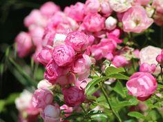 Trädgårdsdags snart. Gillar du rosor ska du lära dig det magiska tricket med potatis. Du kommer få de finaste rosenbuskarna i området! Magiskt är det!