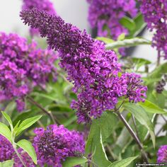 Tutti Fruitti Butterfly Bush has striking purple blooms set upon compact mounding foliage. The highly fragrant flowers attract butterflies and hummingbirds to your garden, while also being deer resistant. This compact shrub would be a beautiful addition to any sunny spot in your garden. (Buddleia)