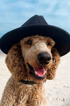 Whether you're looking for a family pet or a competitive dog show contender, there are some important factors to consider when choosing the right poodle puppy. Here's your guide.#poodlepuppy #poodlepuppytraining #poodlepuppies #cutepoodlepuppies #dogsandpuppiespoodle #dogsandpuppies #cutedogs Poodle Mix Puppies, Dogs And Puppies, Dog Show, Cute Dogs, Pets, Factors, Funny Dogs, Animals And Pets