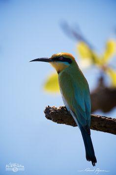 Guêpier arc-en-ciel - Merops ornatus | Rainbow Bee-eater: http://tazintosh.com #FocusedOn #Photo #Bec #Beak #Canon EF 100-400mm f/4.5-5.6L IS USM #Canon EOS 7D #Guêpier arc-en-ciel #Merops ornatus #Rainbow Bee-eater
