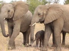 First steps of baby elephant is touching scene - GrindTV.com