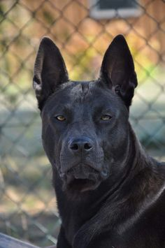 Many scientists believe that the Thai Ridgeback is the oldest dog. In their opinion, he retained the features of a single ancestor of all modern dogs. Dog Bucket List, Thai Ridgeback, Black Pitbull, Rare Dog Breeds, Purebred Dogs, Dogs And Puppies, Doggies, Bull Terrier Dog, Old Dogs